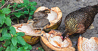 A hen and her chicks take advantage of split coconuts left near a parking area at Ke'e Beach, Kaua'i.