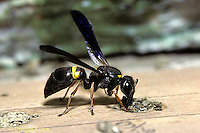 VS02-043z  Solitary Wasp - Vespidae Wasp - sealing up nest site with mud - Wood Wasp