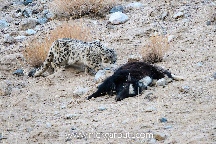 Wild female snow leopard (Panthera uncia)(sometimes Uncia uncia) approaching its kill - a domestic yak calf (Bos grunniens). Ladakh Range, Western Himalayas, Ladakh, India.