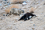 Wild female snow leopard (Panthera uncia)(sometimes Uncia uncia) approaching its kill - a domestic yak calf (Bos grunniens). Ladakh Range, Western Himalayas, Ladakh, India.