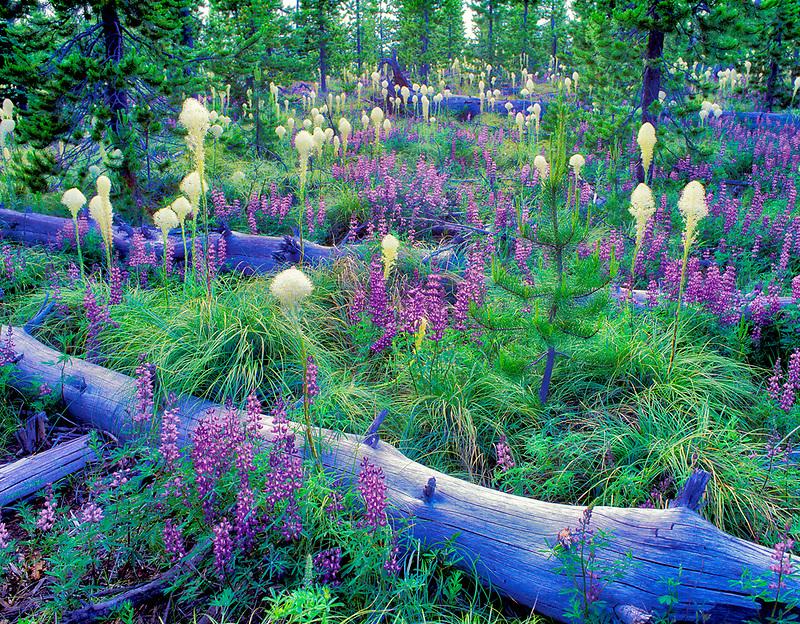 V00143M.tiff   Lupines Bear Grass, and fallen logs. Santiam Pass, Oregon
