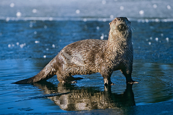 North American River Otter (Lontra canadensis) along frozen lake, Western U.S., winter.