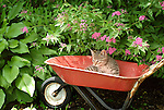 Norm in red wheelbarrow