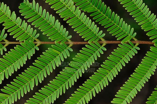Guajillo Acacia (Acacia berlandieri), leaf pattern, Dinero, Lake Corpus Christi, South Texas, USA