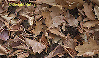 MU35-525z White-footed Mouse camouflaged in leaves on forest floor, Peromyscus leucopus