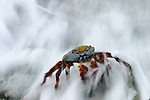Sally lightfoot crab in the waves<br /> Crabe (Sally lightfoot Crab (grapsus grapsus)) dans les vagues<br /> Crabe (Sally lightfoot Crab (grapsus grapsus)) dans les vagues.