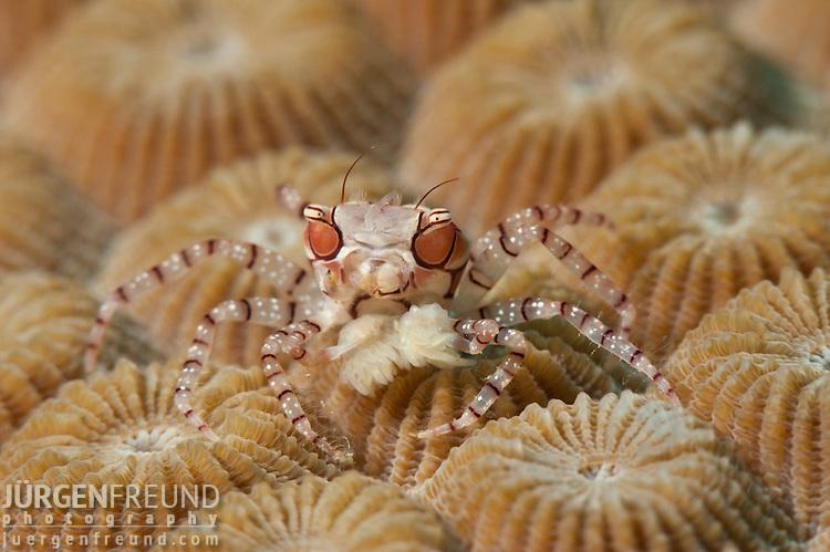 Boxer or pom pom crab (Lybia tesselata)