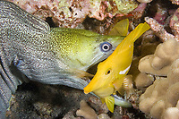 undulated moray eel or leopard moray, Gymnothorax undulatus, seizes sleeping yellow tang, Zebrasoma flavescens, while feeding at night (note teeth piercing base of dorsal fin), Keahole, Kona, Big Island, Hawaii, USA, Pacific Ocean 1st in sequence of 4