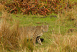 Bobcat (Lynx rufus) in northern coastal prairie, Point Reyes National Seashore, California