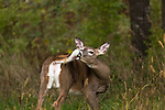 White-tailed doe grooming her tail.
