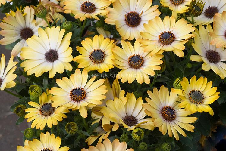 Osteospermum 'Sunny Amanda' yellow annual flowers