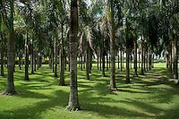 Coconuts trees in a row at public park, Higuey, Dominican Republic