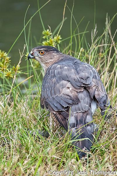 Cooper's Hawk, Estero Llano Grande State Park, Texas
