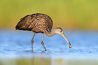 Limpkin (Aramus guarauna) feeding on freshwater mussel. Myakka River State Park, Florida. March.