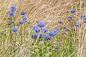 Jasione laevis (Sheep's Bit Scabious). Swiss Alpine Show Garden, Hampton Court Flower Show 2012.