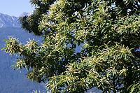 Edelkastanie, Esskastanie, Edel-Kastanie, Ess-Kastanie, Echte Kastanie, Marone, Blüte, Blüten, blühend, Castanea sativa, sweet chestnut, Spanish Chestnut, Chestnut, flowers, le Châtaignier commun, le Châtaignier