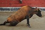 A cow is seen during the bull run of the San Sebastian de los Reyes Festival, near Madrid, on august 28, 2014.. © Pedro ARMESTRE