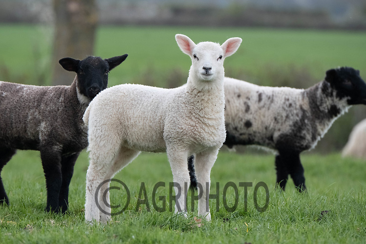 11-4-2021 Lambs out at grass<br /> ©Tim Scrivener Photographer 07850 303986<br />      ....Covering Agriculture In The UK....