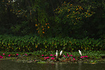 Intermediate Egret (Ardea intermedia) and Great Egret (Ardea alba) pair in wetland during rainfall, Diyasaru Park, Colombo, Sri Lanka