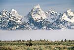 Bison, Grand Teton National Park, Wyoming