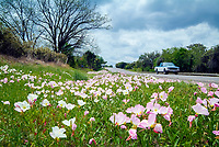 Evening primrose flowers (scientific name Oenothera speciosa) growing in a meadow near the city of Fredericksburg, South of Texas, USA. These wild flowers are growing during the spring and the beginning of summer. The picture shows a car running on a road near the flowers.