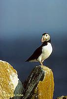 MC24-044z  Atlantic Puffin - on rocks at Machias Seal Island, Bay of Fundy - Fratercula arctica