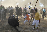 The bull chases a man as they take part in the 'El toro de la Vega' (The bull of the plain) bullfight, September 16, 2008 in Tordesillas, near Valladolid, © Pedro ARMESTRE.