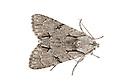 Grey Dagger {Acronicta psi} moth, Peak District National Park, Derbyshire, UK. June.