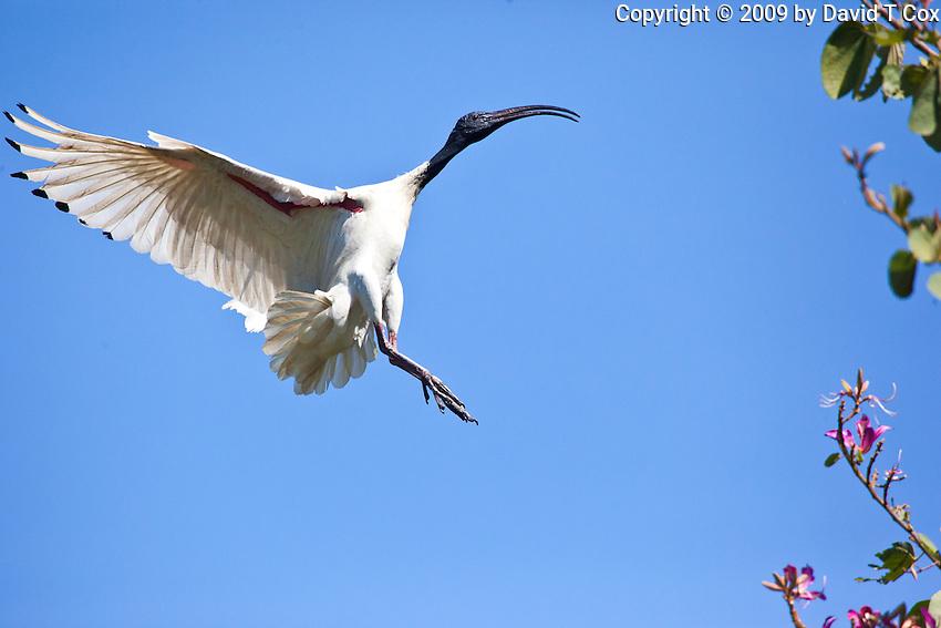Australian White Ibis in flight, Botanical Gardens, Sydney, Australia