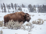 Yellowstone National Park, WY <br /> American Bison (Bison bison), or American Buffalo covered with morning frost in the Lamar Valley, winter