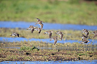 Long-billed Dowitcher (Limnodromus scolopaceus), flock in winter plumage landing at the Riparian Preserve at Water Ranch, Gilbert, Arizona.