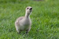 Grau-Gans, Küken, Grau-Gans, Grau - Gans, Anser anser, Greylag Goose, graylag goose, grey lag goose, Oie cendrée