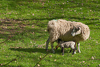 Mother Sheep and baby lamb in spring in field