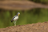 White-crowned Lapwing on the banks of the Gambia River at Wassadou, Senegal