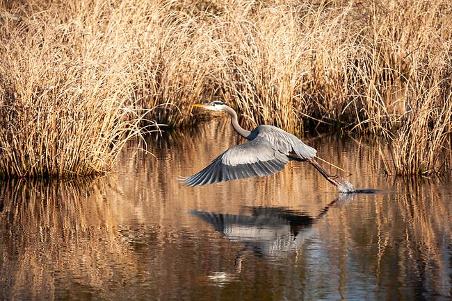 Great Blue Heron (Ardea herodias) Great Blue Heron (Ardea herodias) taking flight