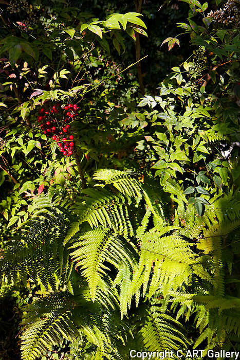 Ferns and Berries
