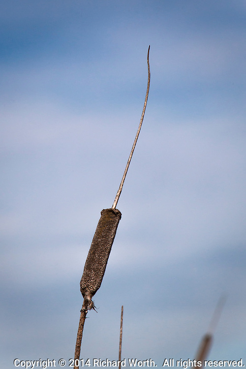 A cattail against a blue sky with faint clouds.  Coyote HIlls Regional Park, adjacent to San Francisco Bay, in Fremont, California