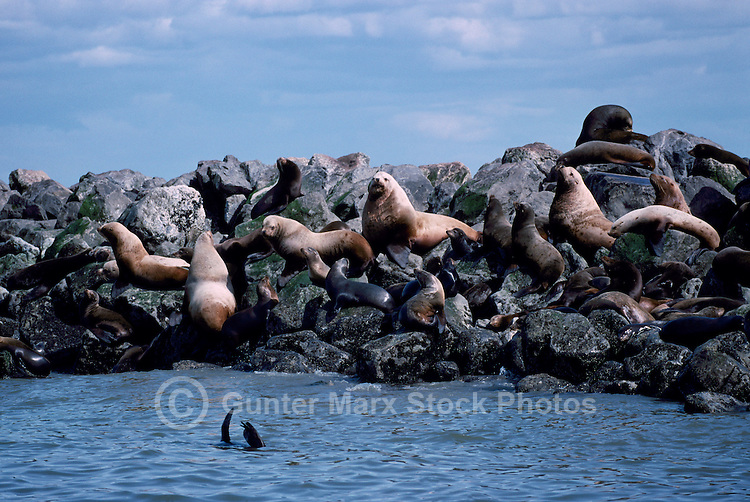 California Sea Lions (Zalophus californianus) and Steller Sea Lions (Eumetopias jubatus) basking on Rocks in Sun, Mouth of Fraser River, Richmond, BC, British Columbia, Canada