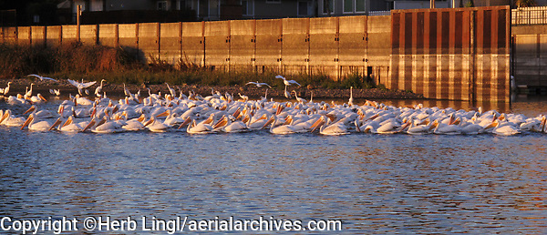 White pelicans, Rumsey Bay, Lakeport, Lake County, California