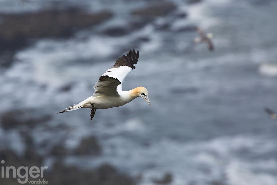 Northern Gannet in Flight at Bempton