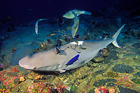fish pick at live gray reef shark after being finned and discarded in ocean, Carcharhinus amblyrhynchos, Koh Tachai, Thailand, Andaman Sea