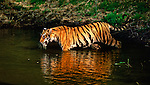 Hidden within the dense shade of the saal forest in central India, a cool, dark pool serves as the ideal midday resting place for a majestic Bengal tiger.