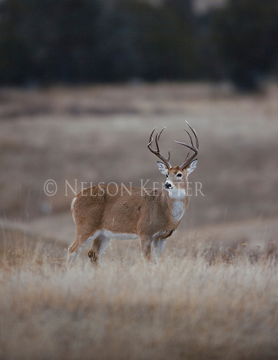 Tall Racked Whitetail Buck in Rut