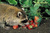 MA25-282z   Raccoon - young raccoon exploring, finding food (strawberries) in garden - Procyon lotor