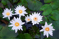 White tropical water lilies. Hughes Water Gardens, Oregon