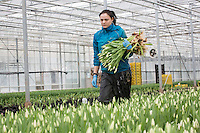 Cropping tulips ready for bunching - Lincolnshire, February