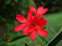 Pretty picture of three red Peregrina flowers.