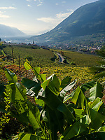 Bananenpflanzen am Algunder Waalweg, Algund bei Meran, Region Südtirol-Bozen, Italien, Europa<br /> Banana plants at hiking trail Algunder Waalweg,  Lagundo village near Merano, Region South Tyrol-Bolzano, Italy, Europe