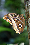 Owl-eye Butterfly (Caligo atreus) shortly after emerging from its cocoon. Lowland rainforest, La Selva, Caribbean slope, Costa Rica.