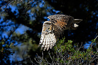 Great Horned Owl in Flight, Yellowstone National Park